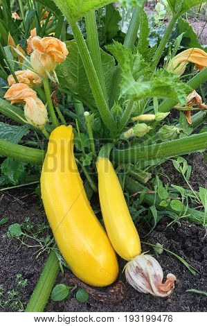 Golden zucchini ripen in the garden. Organic growing of vegetables.