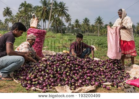 Mysore India - October 27 2013: Farmer with his sons and crew harvest and sort pile of dark purple eggplants. Green scenery under light blue sky. Green trees in back and large pink collection bag.