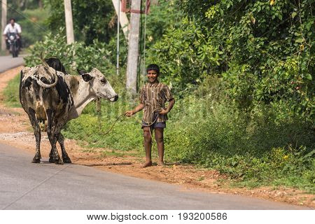 Mysore India - October 27 2013: Young laughing teenaged boy holds black and white cow on string along rural road in Ranganathapur hamlet. Green background with faded motorcycle in distance.