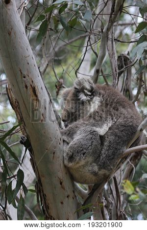 Australian Koala Bear sleeping in eucalyptus tree