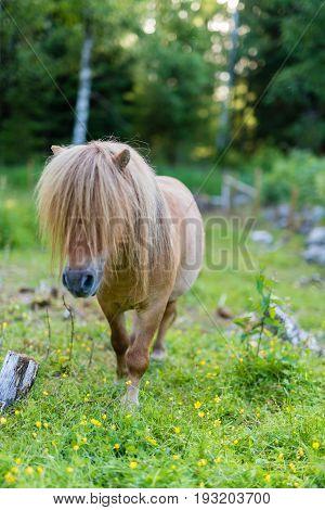 A little shetland pony walking on green grass