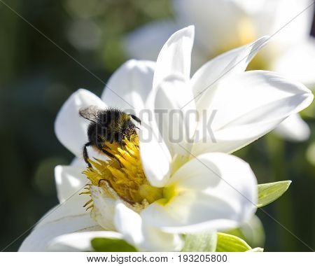 Bumblebee on white flower collects nectar, macrolife