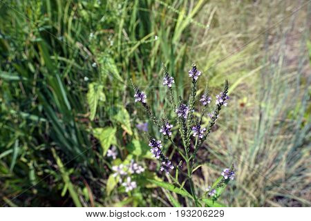 Hoary vervain (Verbena stricta) blooms beside a small lake in Joliet, Illinois during July.