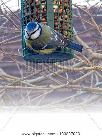 A European Blue Tit on a garden feeder