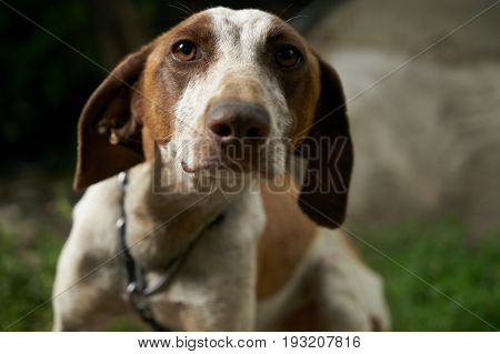 Close-up of a sad pointer dog looking helpless to the camera.