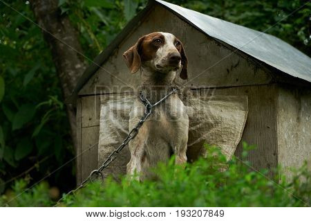 Beautiful happy healthy young and cavorting German Shorthaired Pointer dog. A guard dog on a chain sits near a dog house