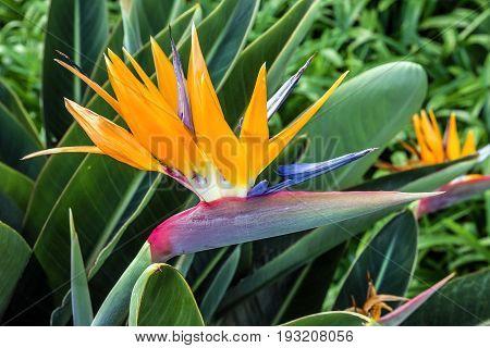 Tropical flower strelitzia bird of paradise, Madeira island, Funchal, Portugal