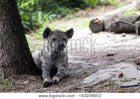 Hyena Lies And Looks Around