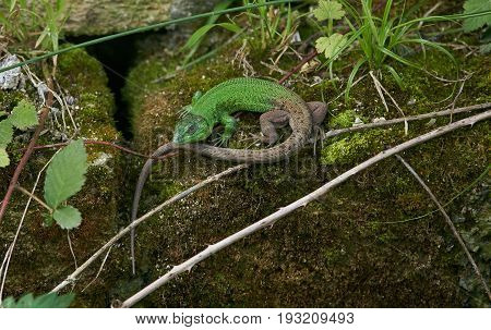 Beautiful green Lizard Reptile lizard green lizard. Young male green lizard (lacerta bilineata) in the mountains.