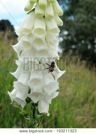 white wild foxglove in nature with bee pollinating flower