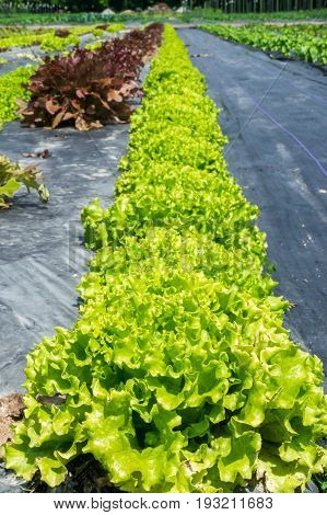 Loose leaf lettuce in the garden ready for harvest