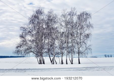 Group of bare birch trees in the winter against cloudy sky