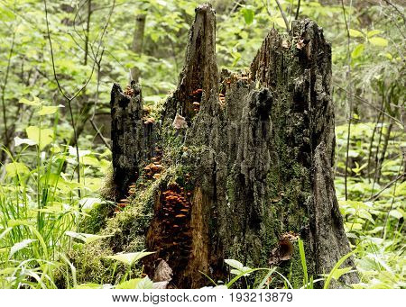 Old Rotten Wooden Stump With Moss And Mushrooms In The Forest.