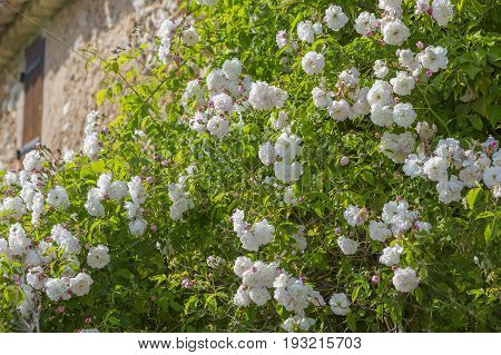 Wall roses on a disused house Horizontal