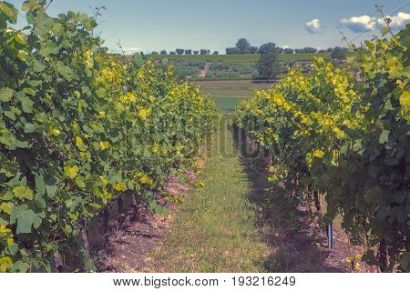 Langhe vineyards and hills in summer Toned