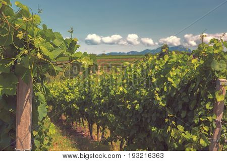 Langhe vineyards and hills in summer Toned Selected focus