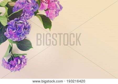 blue and violet hortensia flowers on white background with copy space, retro toned