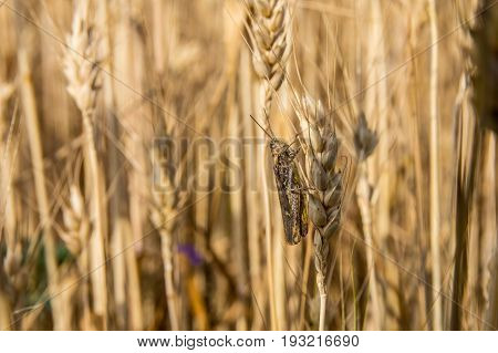 Grasshopper Sitting On The Ear Of Wheat