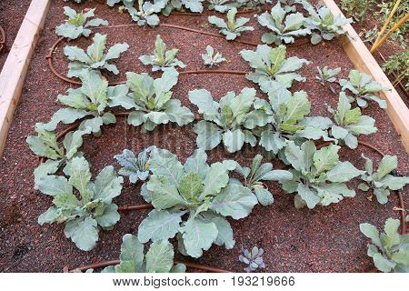 Vegetable Garden With Cabbage And Automatic Irrigation System
