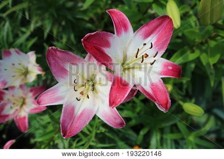 Asiatic hybrid lilium 'Lollypop' red-white large flowers.