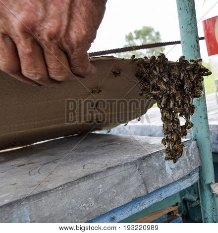 The Beginning Of The Swarming Of The Bees. A Small Swarm Of Mesmerized Bees On Cardboard Paper. Apia