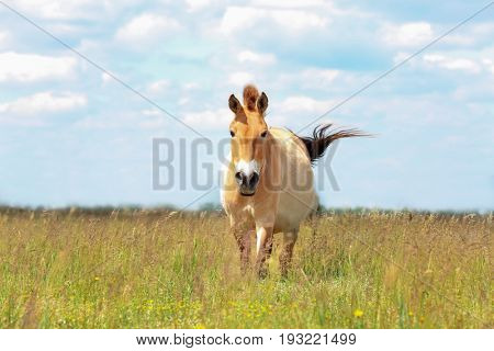 Mongolian wild horse in pasture on summer day