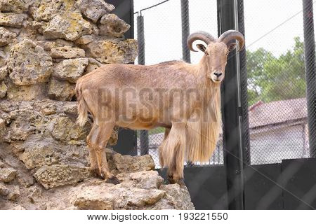 Barbary wild sheep in zoological garden