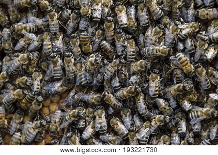 A Dense Cluster Of Swarms Of Bees In The Nest. Working Bees, Drones And Uterus In A Swarm Of Bees. H