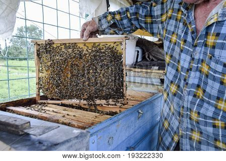 An Elderly Beekeeper Is Holding Bees' Honeycomb With Bees In His Hand. Honey Bee. Apiary.