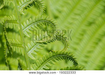 A fern plant in a backyard in Wisconsin.