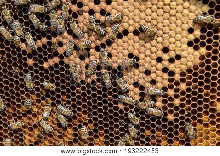 Honey Bees On The Home Apiary