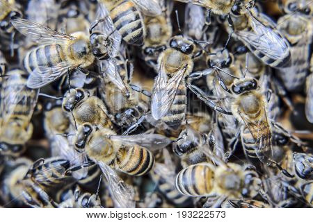 Macro Photograph Of Bees. Dance Of The Honey Bee. Bees In A Bee Hive On Honeycombs.
