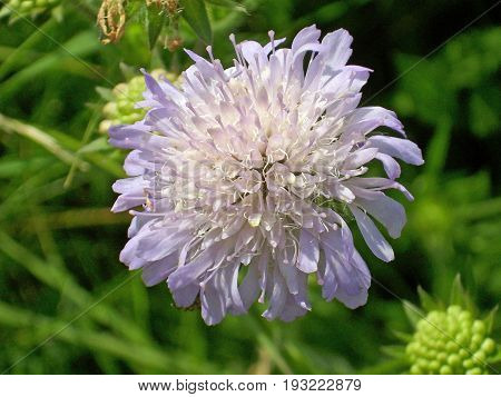 Close up of a lilac field scabious (Knautia arvensis) flower with a background of buds of the same plant and green foliage.