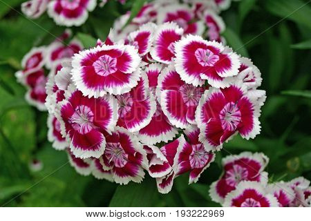 Cluster of pink sweet william (Dianthus barbatus) flowers with white edges to the petals. Background of dark foliage.