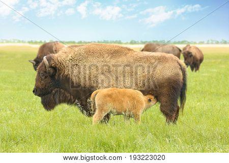 Wild bison in steppe on summer day