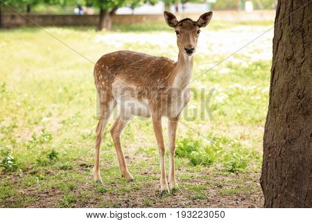 Cute funny deer in zoological garden