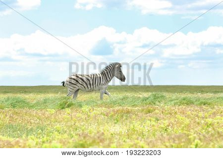 Zebra in wildlife sanctuary on summer day