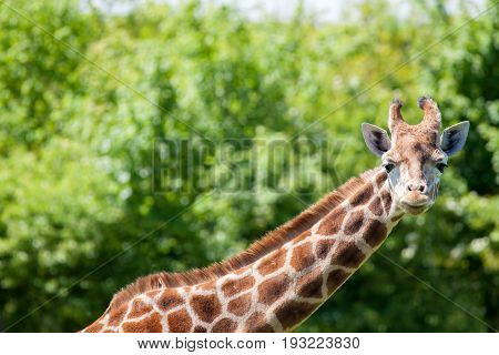 Giraffe (Giraffa camelopardalis) portrait. Head and neck against blurred tree lined background. African safari wildlife nature image with copy space.