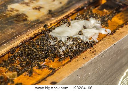a lot of bees takes a sucrose from beekeeper on frames in hive