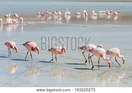 Flamingo, wildlife, Laguna Colorada (Red Lagoon), Altiplano, Bolivia, South America