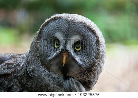 Close up of a great grey owl with beautiful yellow eyes and orange beak with a blurred green background of trees and space for text.