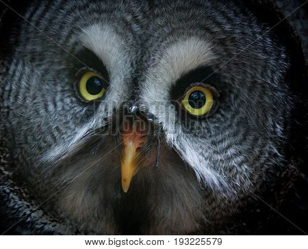Close up of a great grey owl's beautiful yellow eyes and orange beak with a vignette.