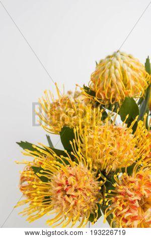 Yellow leucospermum cordifolium flower (pincushion protea) white background