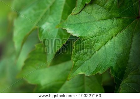 Close-up Of Fresh Green Leaves. Leaf texture background