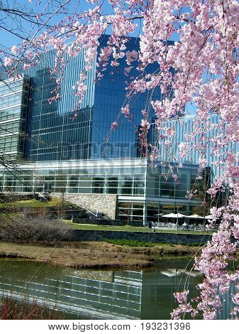 Pink Cherry Blossoms in Tysons Corner near Washington DC USA
