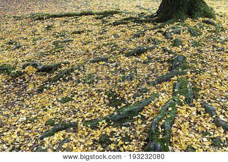 golden ginkgo leaves in autumn at Nara park Japan