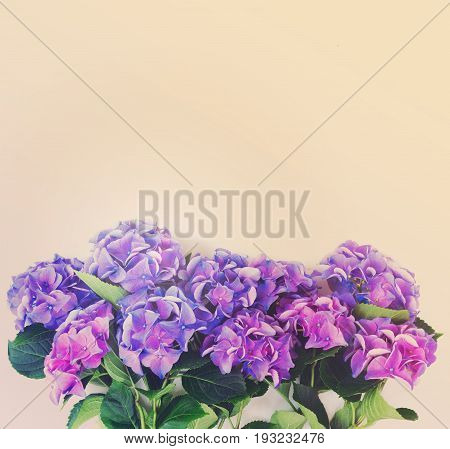 blue and violet hortensia flowers border on white background with copy space, retro toned