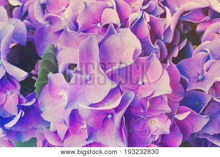 blue and violet hortensia flowers close up, retro toned