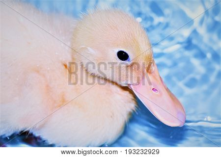 A Baby Pekin Duck Swimming in a Bathtub
