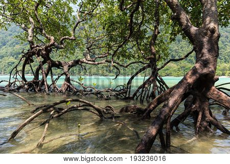 Mangrove trees forest with huge roots growing on the Ko Surin island shore, Thailand